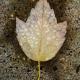 Glen Wm. Wymore, Morning Leaf